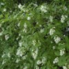 Plant with clusters of small fragrant white flowers.