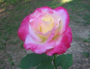 Pink and white tea rose