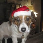A dog wearing a Santa hat.
