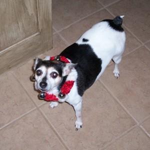 Lucy (Rat Terrier)