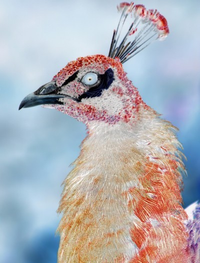 Negative photo of peacock.