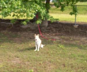 white husky shepherd