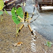 A banana spider hanging in a garden area.