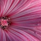Closeup of Lavatera (Morning Tears)