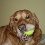 Dog chewing tennis ball.