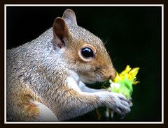 Squirrels Eating Sunflowers