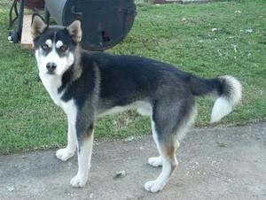 Black and white mix dog.