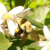 bee on lemon blossom