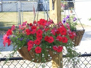 Hanging flower basket with red flowers.