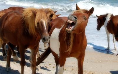 Ponies (Asseteague Island, MD)