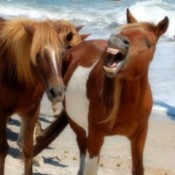 Ponies (Asseteague Island, MD)
