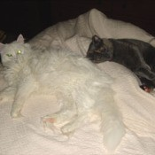 White cat lying down on bed next to dark colored cat.