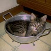 Kitten in colander.
