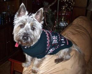 Winston (Cairn Terrier)