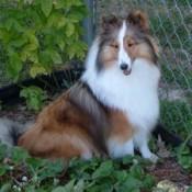 Holly (Shetland Sheepdog)