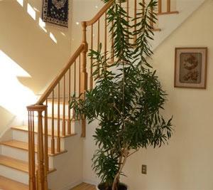 Tall dracena like house plant.