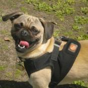 Pug wearing a harness
