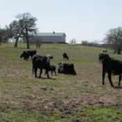 Cows (Navosta, TX)