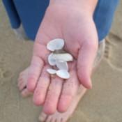 A handful of seashells found on the beach.
