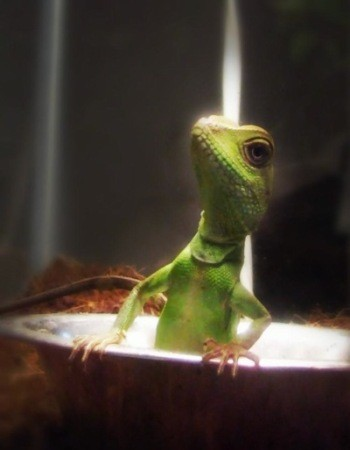 Frankie (Chinese Water Dragon)