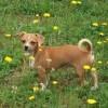 tan dog n the yard