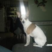 Abby (Chihuahua)