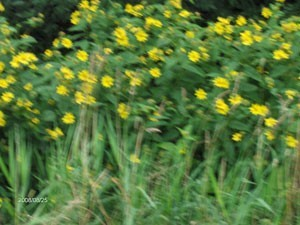 Yellow flower photos thriftyfun a slightly blurry photo of some yellow flowers on tall greenery mightylinksfo