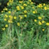 A slightly blurry photo of some yellow flowers on tall greenery.