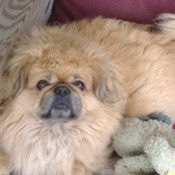 Pugsley (Pekingese)