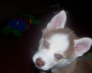 Max (Siberian Husky)