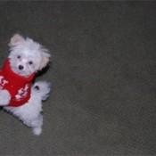 White Bishon mix puppy.
