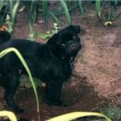 black pug outside