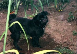 black pug outside