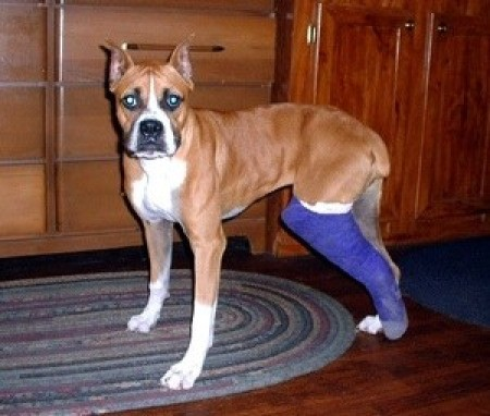 A boxer with a cast on his hind leg.