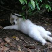 dog Samoyed