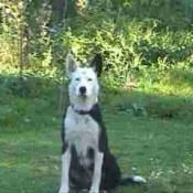 Large black and white dog in yard.