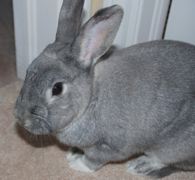 Dwarf Rabbit Information And Photos Thriftyfun