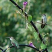 birds on trellis
