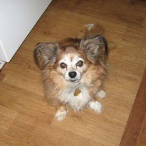 In Memory Of Jibby Pomeranianpapillon Thriftyfun