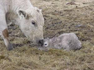 Charolais calf.