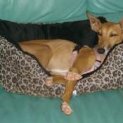 Italian Greyhound laying in dog bed.