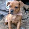 Honey (Pitbull/Terrier)