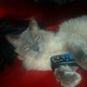 Sleeping Himalayan with remote contol