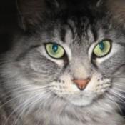 Closeup of beautiful grey cat with green eyes.
