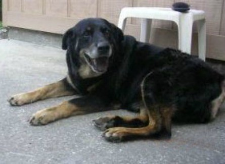 Angel (Rottweiler/Labrador)
