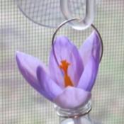 Crocus in hanging bottle.