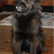 Black dog with pointy ears and medium coat.