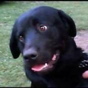 Kane (Black Lab/Rottweiler)