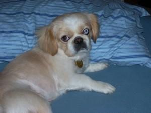 Small cream and tan dog.