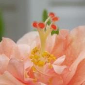closeup of peach hibiscus flower